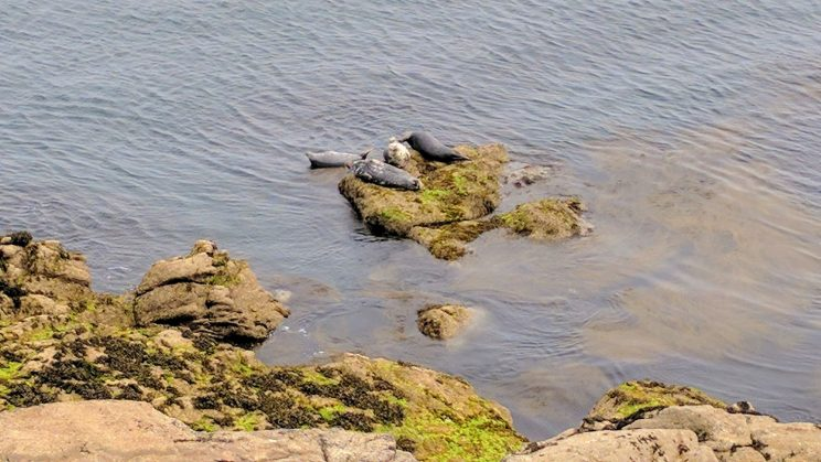 Seals on the coast at Lundy